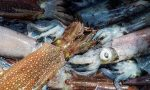 Mürekkep Balığı Ahtapot ve Kalamar