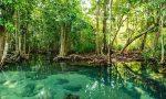 Mangrov Ormanı Nedir