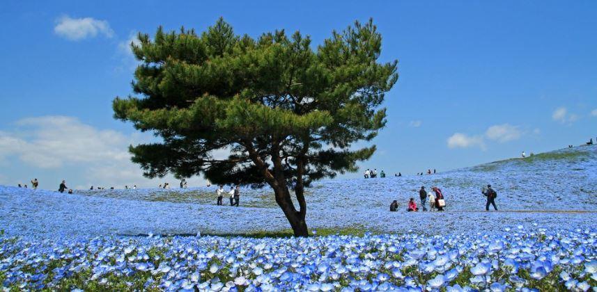 Japonya Mavi Çiçekler