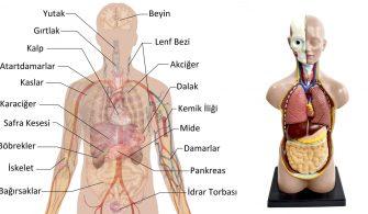 vücudumuzdaki organ sayısı
