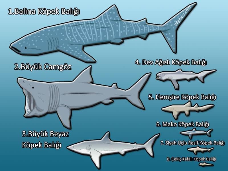 en büyük köpek balığı türleri