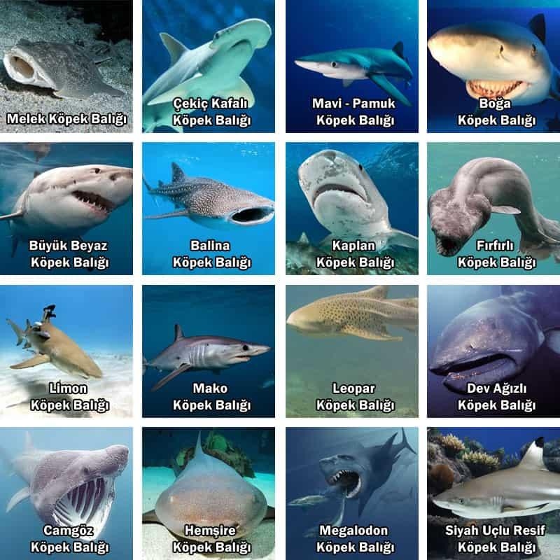 köpekbalığı türleri ve özellikleri