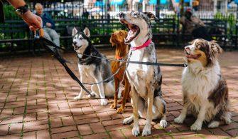 köpek cinsleri ve evcil köpek türleri