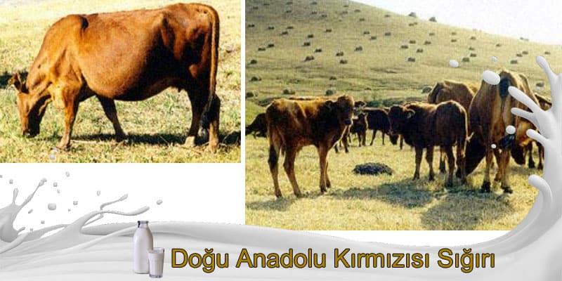 Doğu Anadolu Kırmızısı Sığırı