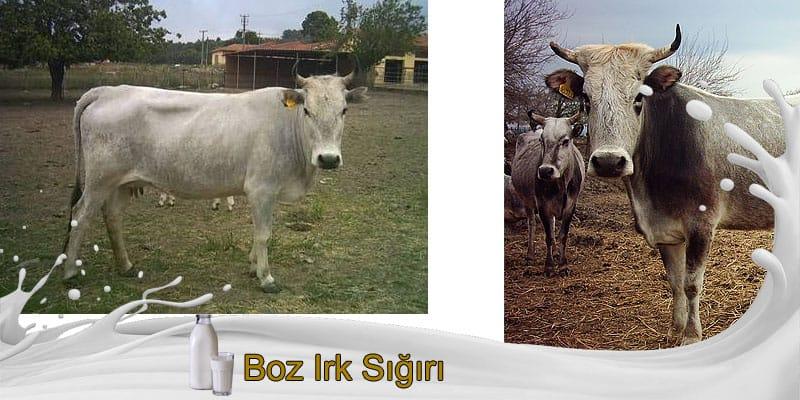 Boz ırk sığırı