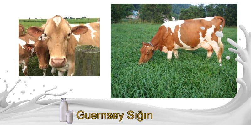 Guernsey Sığırı