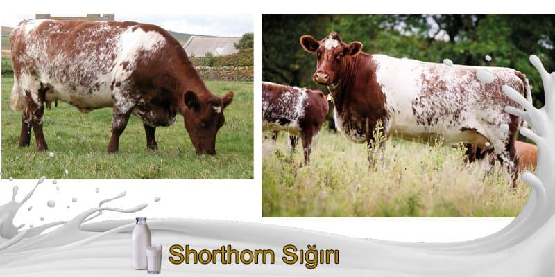 Shorthorn Sığırı