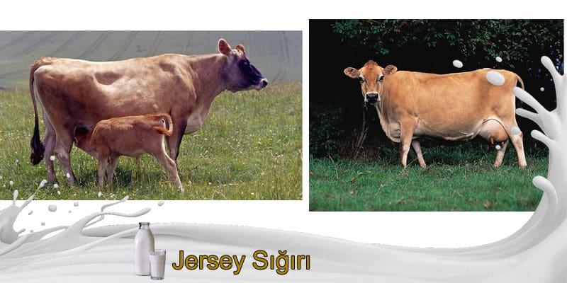 jersey sığırı