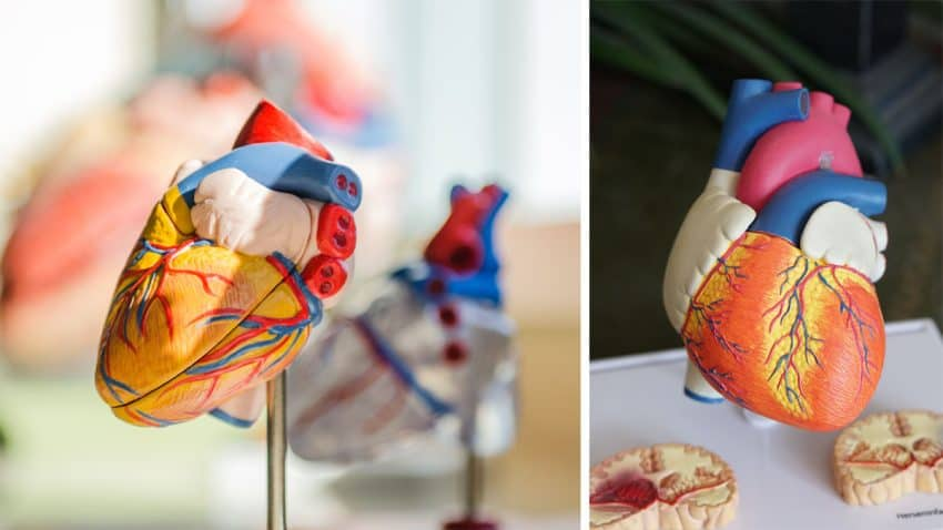 kalp kası bölümleri