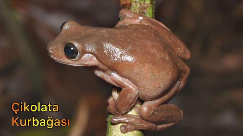 çikolata kurbağası