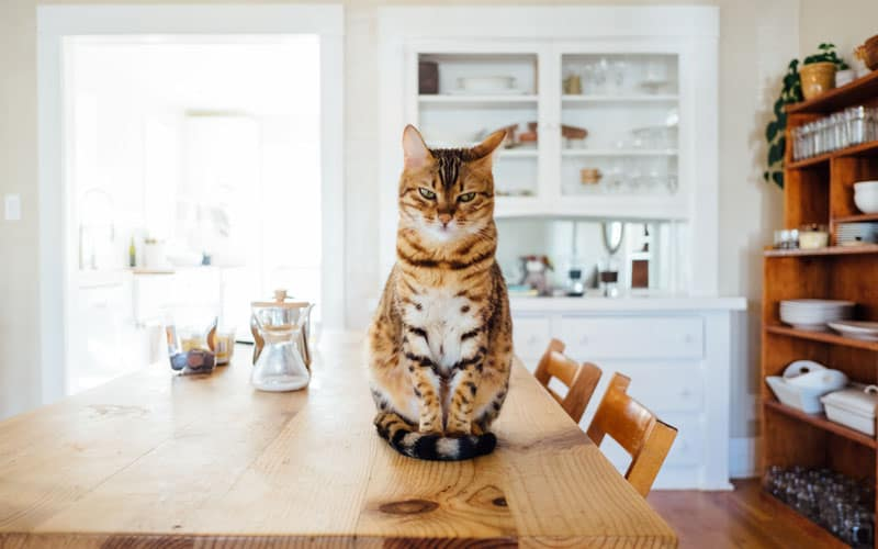 evcil kedi türü 2