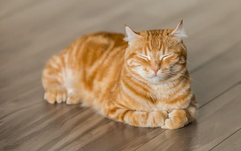evcil kedi türü 4