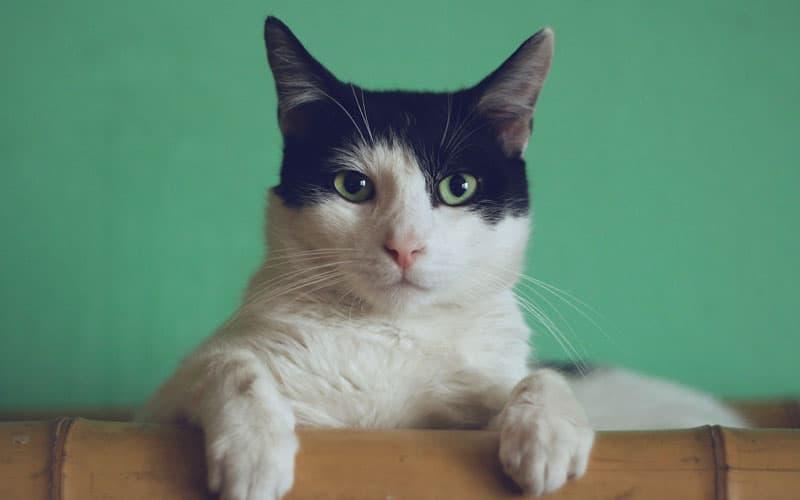 evcil kedi türü1
