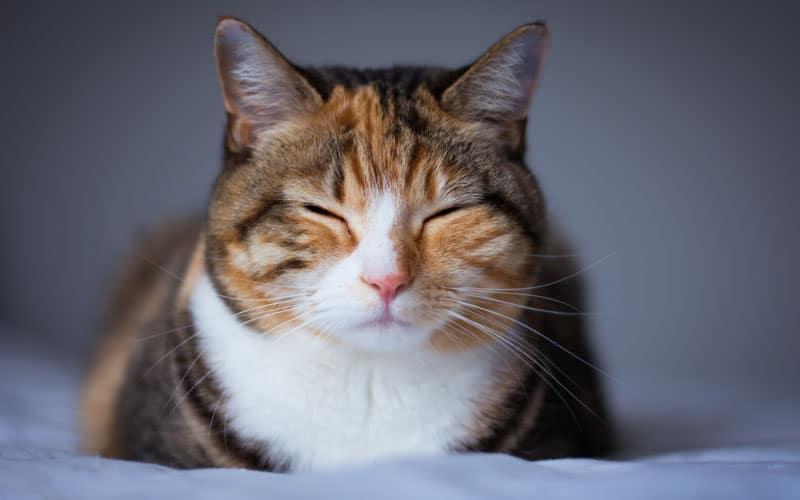 evcil kedi türü6