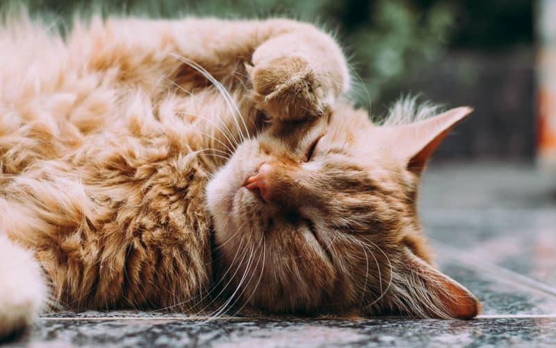 evcil kedi turu7